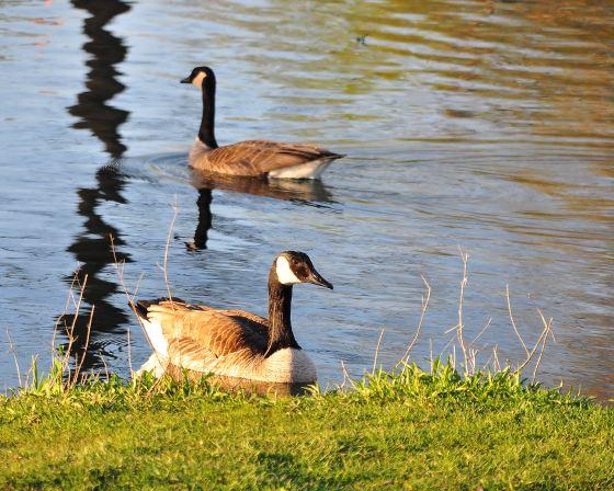 Oak Island Geese